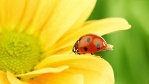 ladlady bug